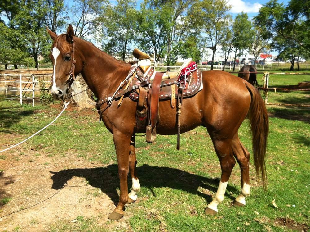Criadero de cuartos de milla ag colores y marcas en los for Monturas para caballos