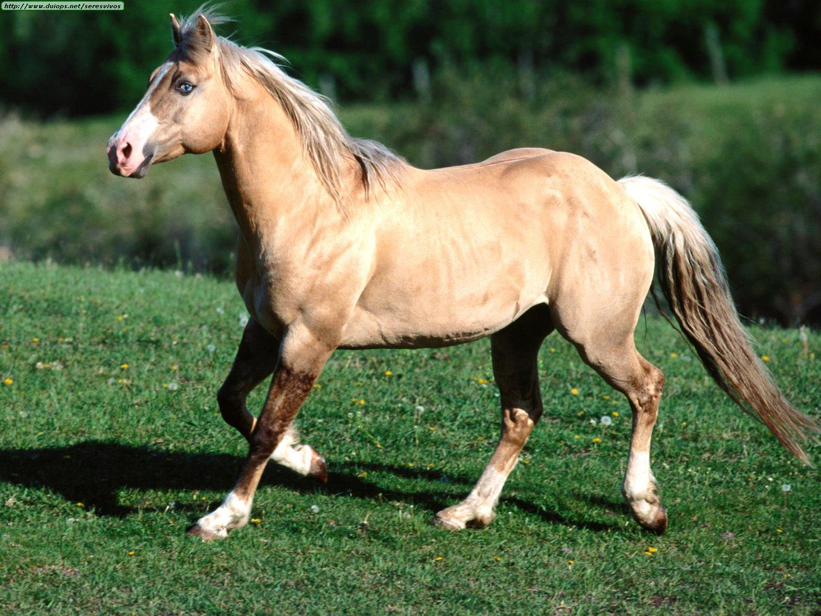 Criadero de Cuartos de Milla AG: Colores y marcas en los caballos