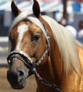 caballo-palomino-id