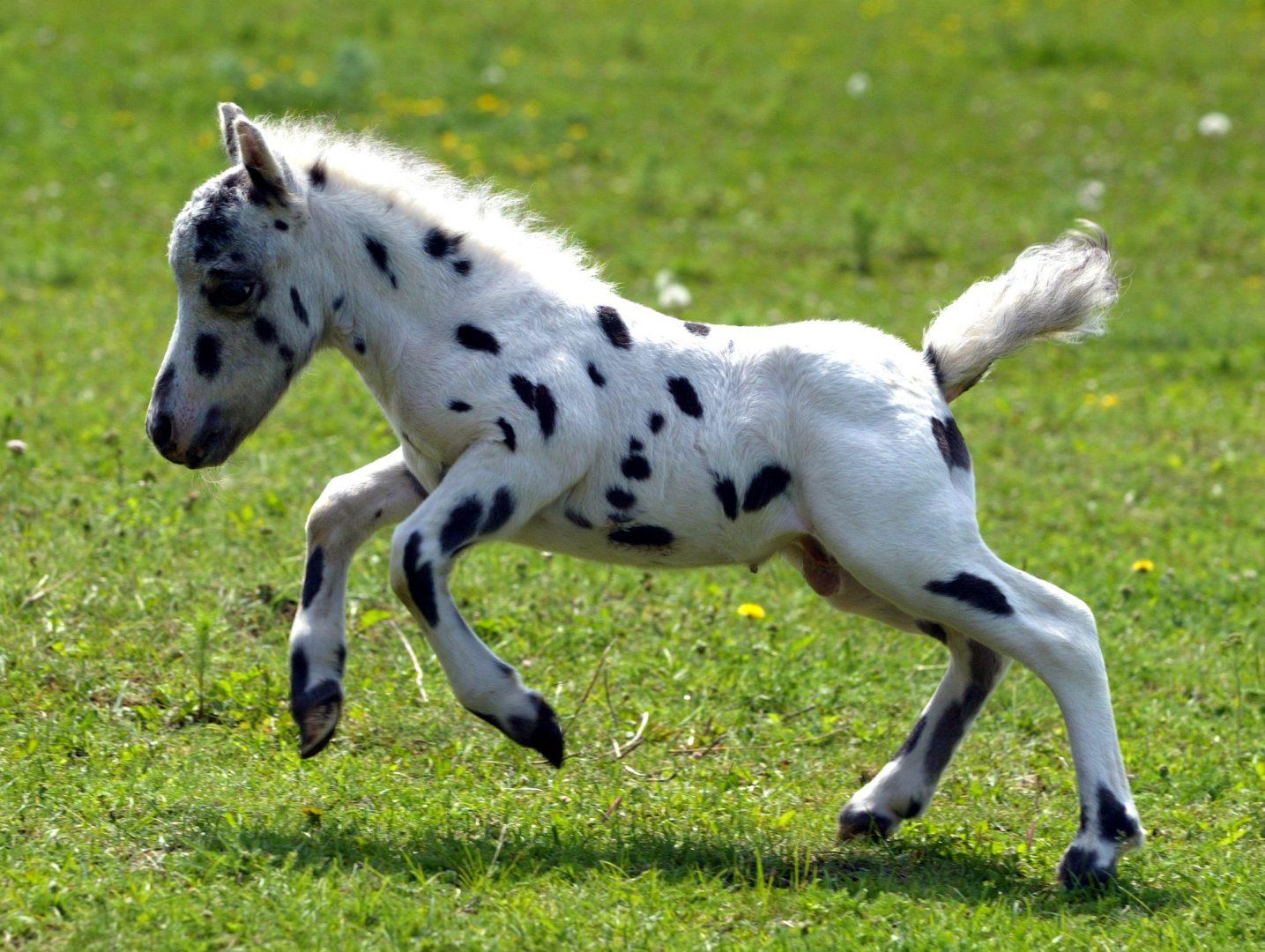 Amor por los caballos. Falabella