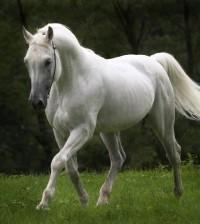 caballos-hermosos-blanco