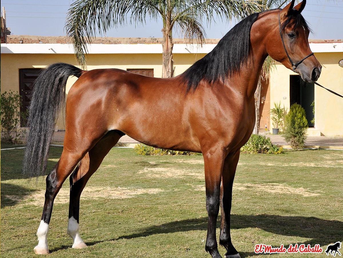 Fotografía caballo árabe 3 - castaño