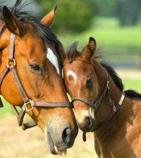 yegua-y-potrillo-caballos