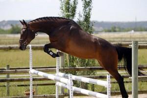 La mayoría de caballos de sangre caliente, desarrollados específicamente como caballos de carreras, son excelentes saltadores
