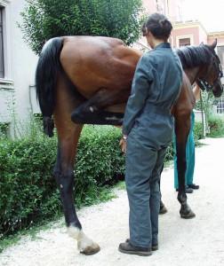 La inspección del veterinario siempre incluye un examen manual del caballo