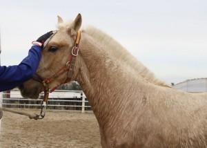 Si un caballo es distraído utilice vibraciones o sacudidas intermitentes de la cuerda para que atienda y le mire. En cuanto esté atento, afloje la cuerda y déjela quieta. Repita este proceso cada vez que se distraiga.