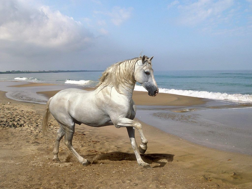 Caballo Pura Raza Española en la playa