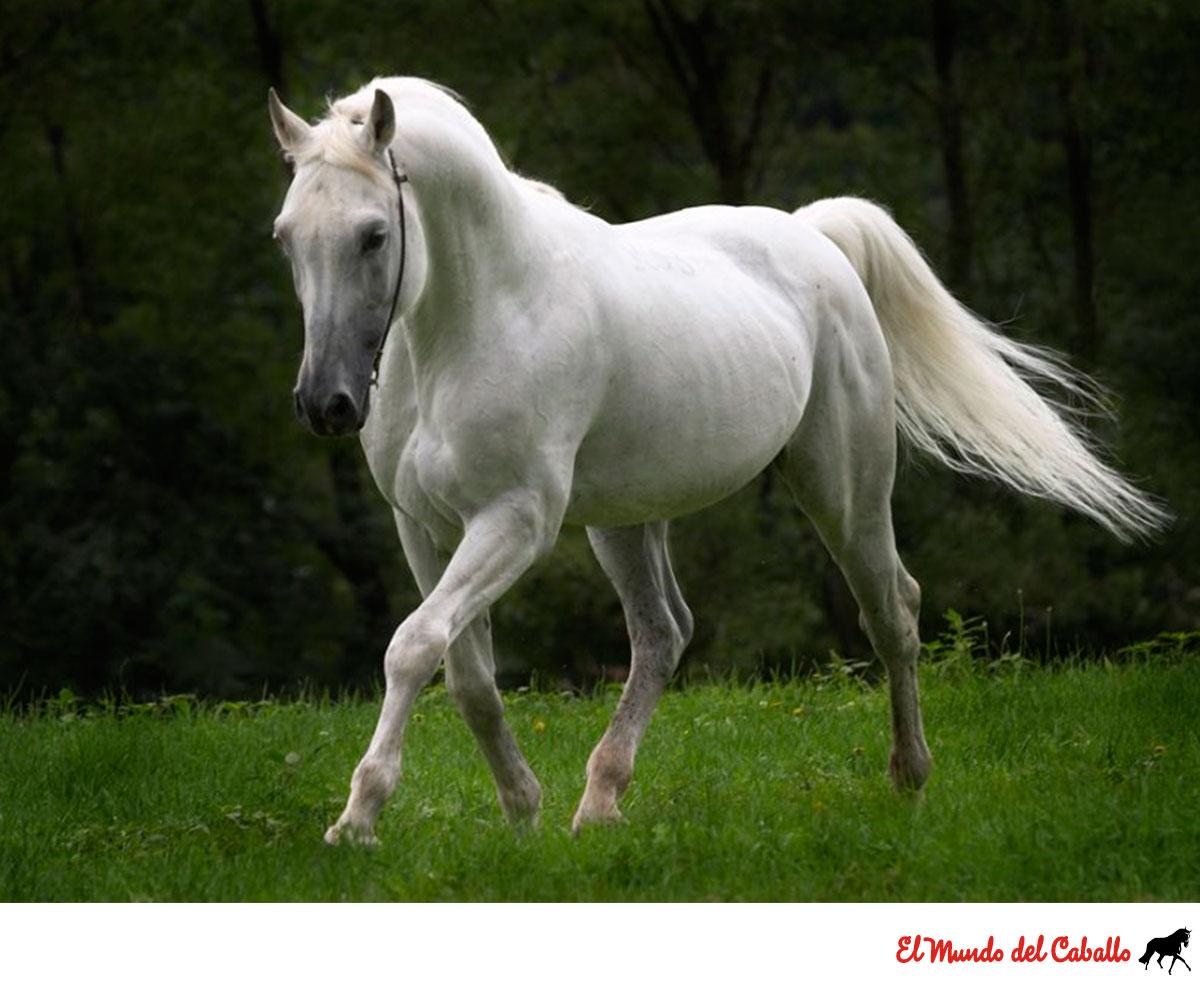 caballo-blanco-mundo-del-caballo