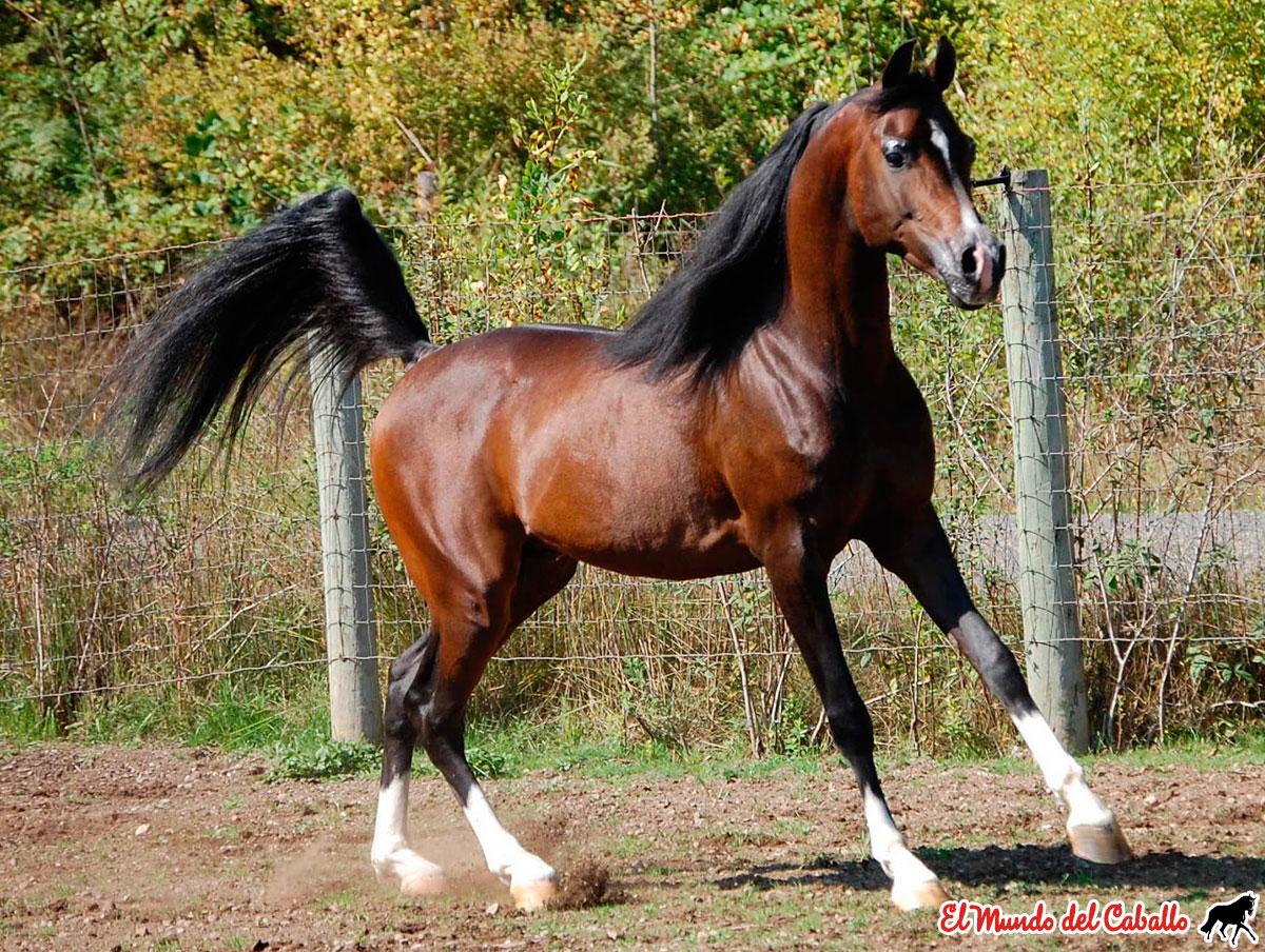 Fotografía caballo árabe 1 - castaño